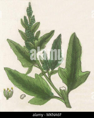 Fig-leaved Goosefoot - Stock Photo