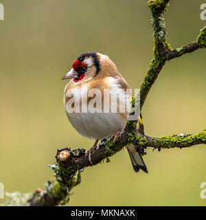 European Goldfinch  is a highly coloured finch with a bright red face and yellow wing patch sitting on a tree branch in Scotland - Stock Photo
