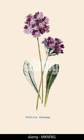 Bird's Eye Primrose, Primula farinosa - Stock Photo