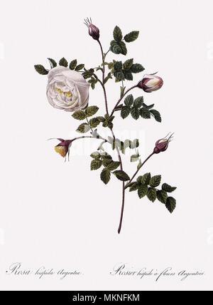 Silver-Flowered Hispid Rose, Rosa Hispida Argentea - Stock Photo
