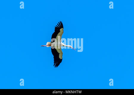 Flying stork on clear blue sky background - Stock Photo