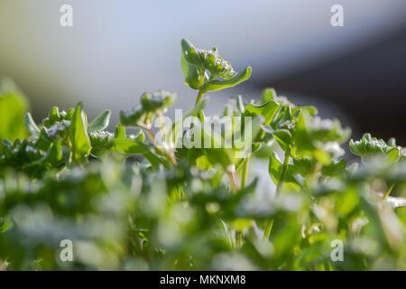 Common cornsalad (Valerianella locusta) flowers. Low growing plant in the family Caprifoliaceae, aka lamb's lettuce - Stock Photo