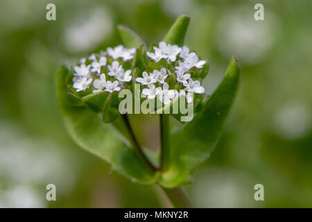 Common cornsalad (Valerianella locusta) plants in flower. Low growing plant in the family Caprifoliaceae, aka lamb's lettuce - Stock Photo