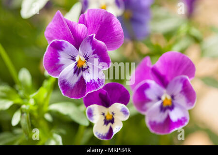 beautiful pansy summer flowers in garden - Stock Photo