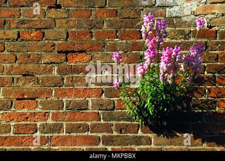 Plant of snapdragon growing in an old wall in Rijeka, Croatia. - Stock Photo
