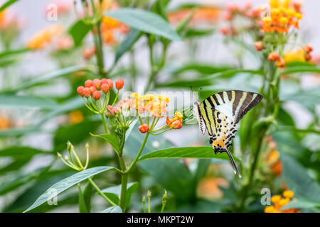 Five-bar Swordtail (Pathysa antiphates) eating on plant - Stock Photo