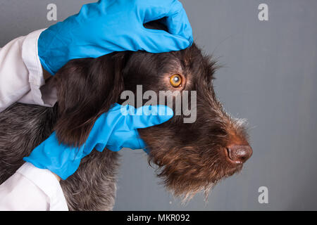 hands of veterinarian checking eyes of dog in vet clinic - Stock Photo
