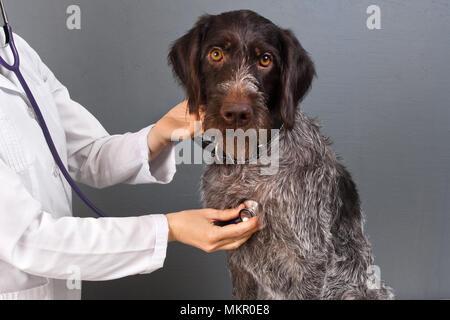 veterinarian examine dog with stethoscope in vet clinic - Stock Photo