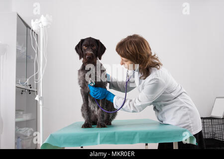 veterinarian examining dog with stethoscope in vet clinic - Stock Photo
