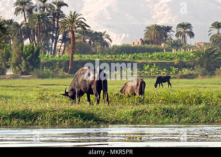 Cows on river bank Nile in Egypt. Life on the River Nile - Stock Photo