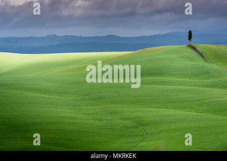 Tuscany landscape, lonely tree, rolling hills with cloud shadows and sunlight on green grass in spring, Asciano, Crete Senesi, Tuscany, Italy - Stock Photo
