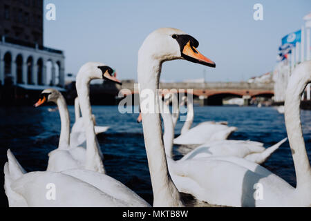 White swans swimming on Alster river canal near city hall in Hamburg - Stock Photo
