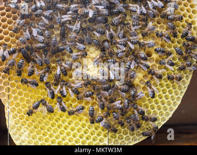 Spanish Honey Bees 'Apis mellifera' on comb in Andalucia, Spain - Stock Photo