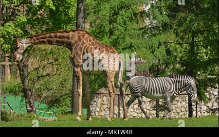 Giraffe (Giraffa camelopardalis) and Grevy's zebra (Equus grevyi) - Stock Photo