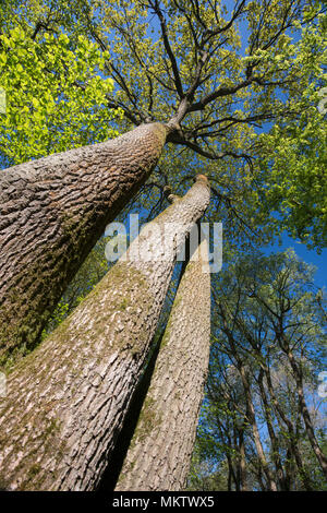 Pedunculate or English Oak - Quercus Robur, Stoke Woods, Bicester, Oxfordshire owned by the Woodland Trust - Stock Photo