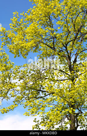 Beautiful sunlit leaves in springtime at Boulevard Park in Bellingham, Washington, USA.  The new leaves on the tree with sunlight gleaming on the leav - Stock Photo