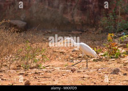 White egret bird at walking at zoo very good at sunny day. - Stock Photo