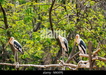 group of painted storks standing at tree at zoo looking awesome. - Stock Photo