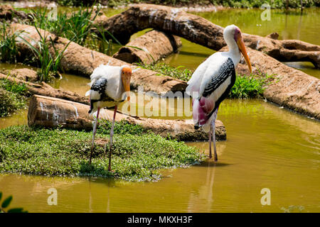 A lot of painted storks searching fish on water at zoo close view. - Stock Photo