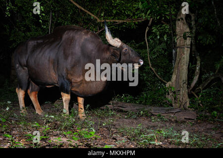 The gaur (Bos gaurus), also called Indian bison, is the largest extant bovine, native to the Indian Subcontinent and Southeast Asia. - Stock Photo