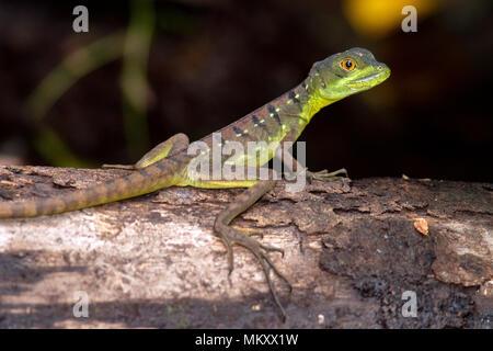 Juvenile Plumed basilisk (Basiliscus plumifrons) - La Laguna del Lagarto Lodge, Boca Tapada, Costa Rica - Stock Photo