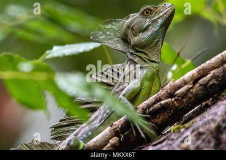 Plumed basilisk (Basiliscus plumifrons) - La Laguna del Lagarto Lodge, Boca Tapada, Costa Rica - Stock Photo