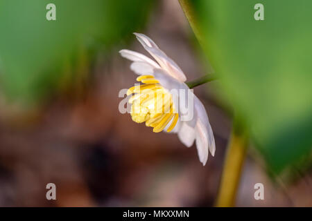 Mayapple Flower (Podophyllum peltatum) - Holmes Educational State Forest, Hendersonville, North Carolina, USA - Stock Photo