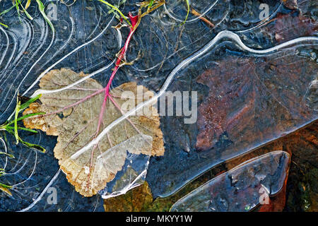 A fallen leaf caught under cracked ice in a frozen puddle after an early frost. - Stock Photo