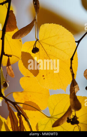 Largeleaf linden (Tilia platyphyllos), close-up of leaf in autumn colour - Stock Photo