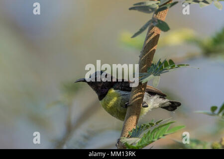 Purple Rumped Sunbird (Leptocoma zeylonica) Perched On A Branch. - Stock Photo