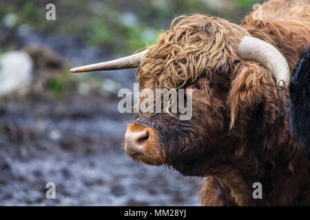 Headshot of a Highland bull in a pasture near Skjolden, Norway. - Stock Photo