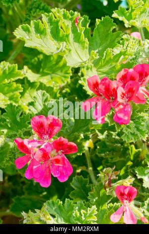 Pelargonium 'Shrubland Pet' in bloom in a garden - Stock Photo