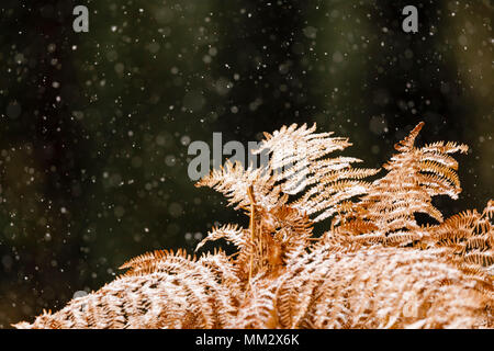 Bracken fern (Pteridium aquilinum) in snow in winter, Alsace, France - Stock Photo