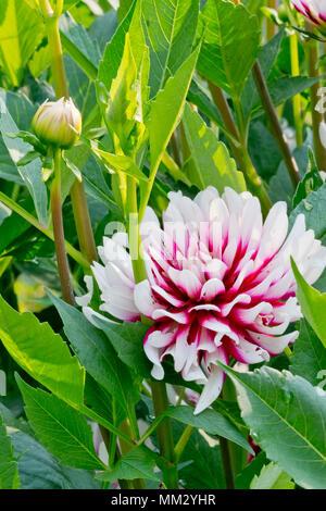 Dahlia \'Rebecca\'s World\' in bloom in a garden Stock Photo: 184462364 ...