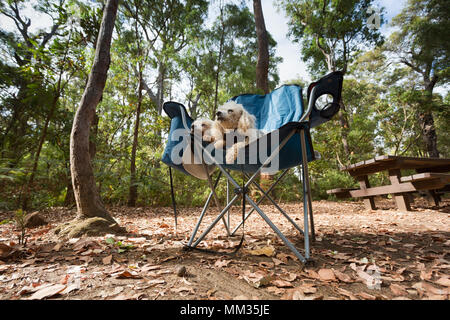 Two small dogs resting on a camping chair after an adventure in the Australian bush. - Stock Photo