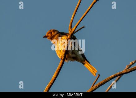 Fig Bird, Sphecotheres viridis - Stock Photo