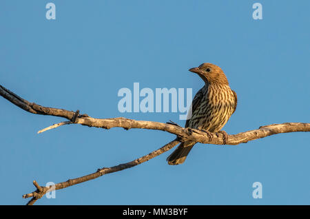 Fig Bird, Sphecotheres viridis - Stock Photo