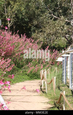 A way between trees and Gaura lindheimeri pink flowers - Stock Photo