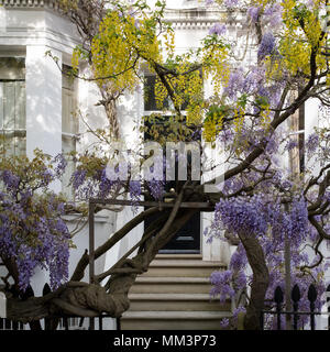 Kensington London. Wisteria and laburnum trees in full bloom growing outside a white painted house in London. Photographed on a sunny day. - Stock Photo
