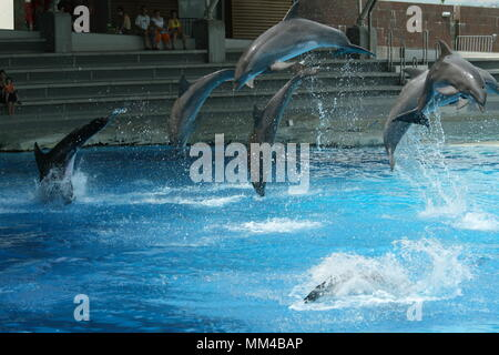 dolphins show at the riccione aquarium in italy - Stock Photo