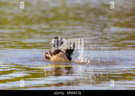 Colour photograph of Tufted duck cleaning and splashing in a large lake using fast shutter speed to freeze action - Stock Photo
