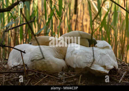 Colour photograph of a pair of Mute swans laying on eggs hidden behind reeds Stock Photo