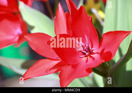 close up inside tulip flower open with bright red petals in garden - Stock Photo