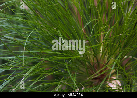 Thin Green Nile Grass Leaves (cyperus papyrus) - Stock Photo