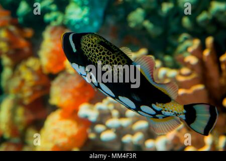 Apple Valley, Minnesota. Minnesota Zoo. Clown triggerfish, Balistoides conspicillum. - Stock Photo