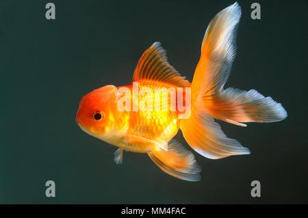 Lion head goldfish swimming in aquarium - Stock Photo