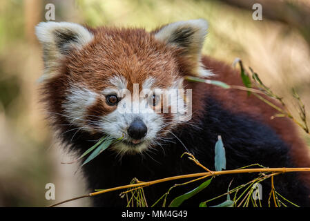 The Red Panda or also known as the Red Cat-Bear. It is slightly larger than a domestic cat and is mosty found in the Eastern Himalaya's - Stock Photo