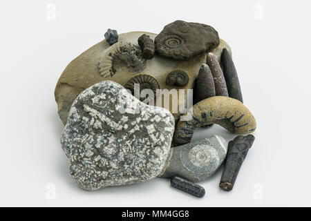 A collection of fossils found on the Jurassic Coast including belamnites, ammonites and crinoid stems - Stock Photo