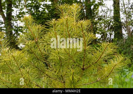 Young specimen of the endangered conifer Cathaya argyrophylla in the arboretum at The Garden House, Buckland Monachorum, Devon, UK - Stock Photo