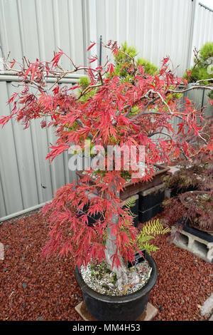 Acer palmatum var dissectum, Dissectum Atropurpureum or known as Weeping Japanese Maple - Stock Photo